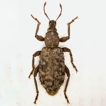 A new cryptic species of Dichotrachelus ...