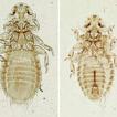 Myrsidea quadrifasciata (Phthiraptera: ...